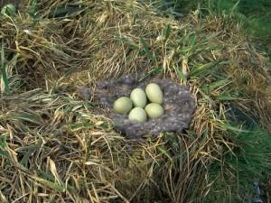 アイダーダックの巣