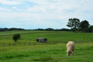 牧場にいる羊