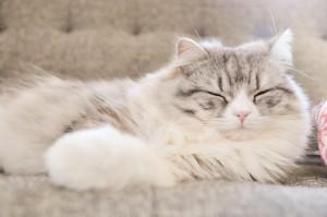 ソファ 寝る 猫