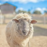 1年中使える羊毛敷布団をおすすめしたい理由